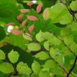 ネジバナ 左巻き、右巻き / 植物誌