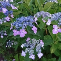 紫陽花とスプロケ