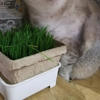 新鮮な猫草