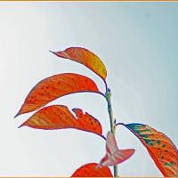マンリョウの鉢植え