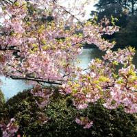 新宿御苑の桜・・3