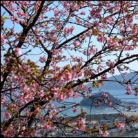 河津桜越しにJR日南線を撮る