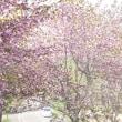 中標津の櫻花は今日でおわりか