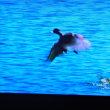 7/23 CMでみかけた鴨