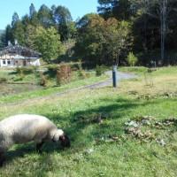 羊さんに会いました・・・