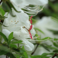 白躑躅に楓の翼果