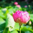 早朝に蓮の花を観に行きました。