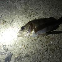 週末@夜釣行