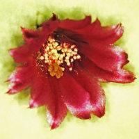 [#3529] サボテン(2)1個の花の全体像