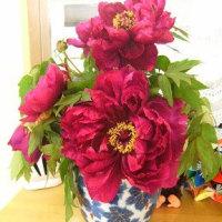 4月30日(日) ぼたんの花
