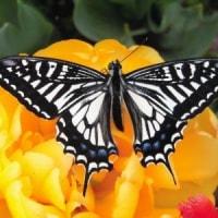 かわいらしいアゲハチョウの幼虫!