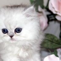 ペルシャ 子猫販売中 ペットショップ 宮城県/仙台市/石巻市/東松島市