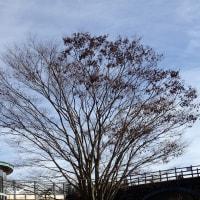 今どきのケヤキは、まさに種を持った枝先が飛び立とうとしています。