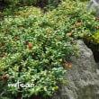 「苔桃の実が生りました」 MY GARDEN 2017.07.27撮影