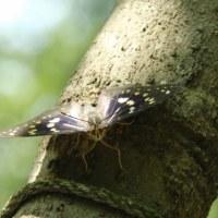 国蝶「オオムラサキ」の里へ~広島県府中市