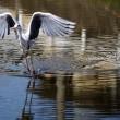 山科川の野鳥02