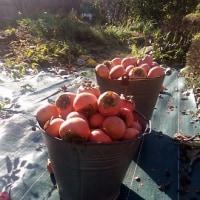 今年も柿はバケツに3杯