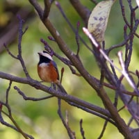 ●最近撮影の里山の野鳥(ウソ、アオバト他)