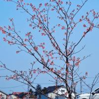白岩川公園に早咲きのサクラが咲きました。・・・富山市水橋・白岩川河畔