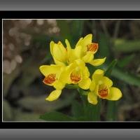 金蘭(キンラン)の花