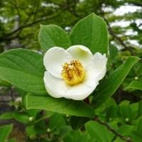 真如堂の菩提樹、沙羅の花!