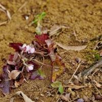 春を告げる野草たち(赤塚植物園)