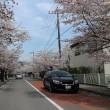 ソメイヨシノ 埼玉県秩父長瀞:北桜通り