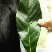 蒟蒻温灸をした時の葉っぱの変化。おかあちゃんの携帯