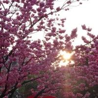 横浜公園の横濱緋桜と夕陽