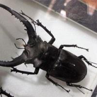 歴史ある昆虫博物館。