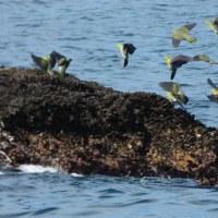 『アオバト』 岩礁へ