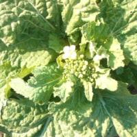 菜の花とチューリツプの芽たち