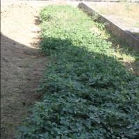畑の野菜収穫と植え付け