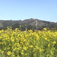 菜の花畑からの足尾山