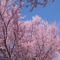 桜が散っちゃうよ~