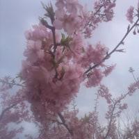 滞在型家庭菜園:河津桜