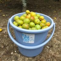 梅の収穫「最終章」