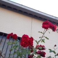 赤井バラが目に留まったお母さんさっそくパチリ