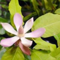 ★【「仏教の聖花」咲く】・・・・・ 日本で唯一、14年ぶり】