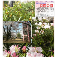 花巡り 「石楠花-5」 川口西公園