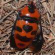 大金亀虫(オオキンカメムシ)