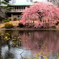 新宿御苑の梅と桜