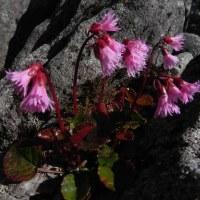 蓼科山荘より 6月17日山の花便り