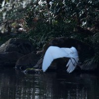 ダイサギ:華麗な舞・・・純白の美しい翼はビオトープからさらに奥へ