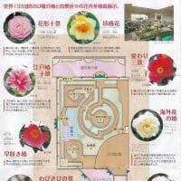 「世界の椿館・碁石」の椿・小崎8号(こさき・はちごう) 2017年2月8日(水)