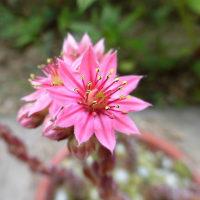 マキギヌの花