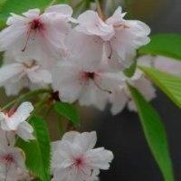 雨情枝垂れ桜 ソロソロ終わり4.23