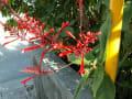 [260]ベニツツバナの花