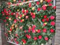 兵庫県伊丹市 荒牧バラ公園