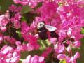 [29]クマバチ(アカアシセジロクマバチ)